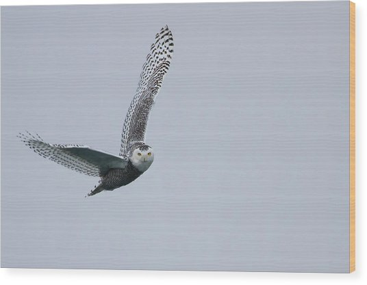 Snowy Owl In Flight Wood Print