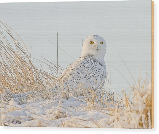 Snowy Owl In The Snow Covered Dunes Wood Print