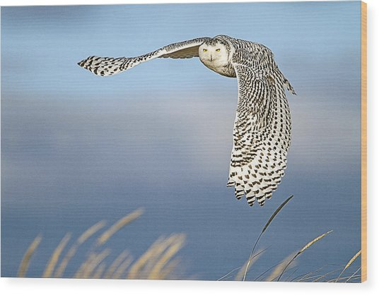 Snowy Owl Over The Dunes Wood Print