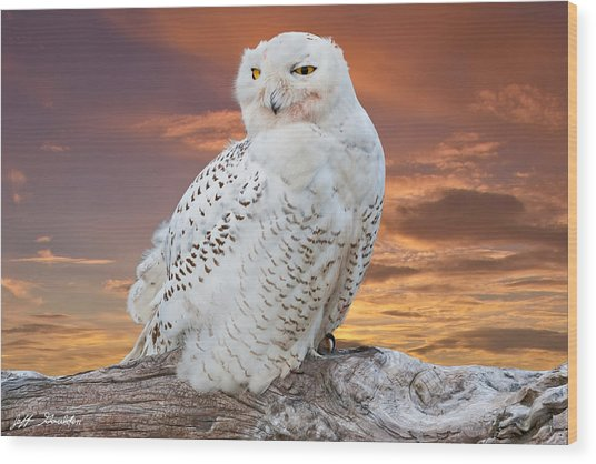 Snowy Owl Perched At Sunset Wood Print