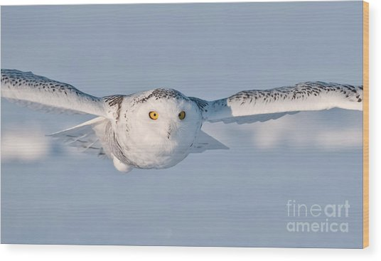 Snowy Owl Pictures 10 Wood Print