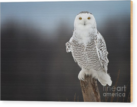 Snowy Owl Pictures 13 Wood Print