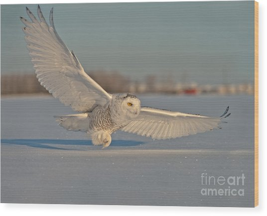 Snowy Owl Pictures 7 Wood Print
