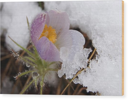 Snowy Pasqueflower Wood Print