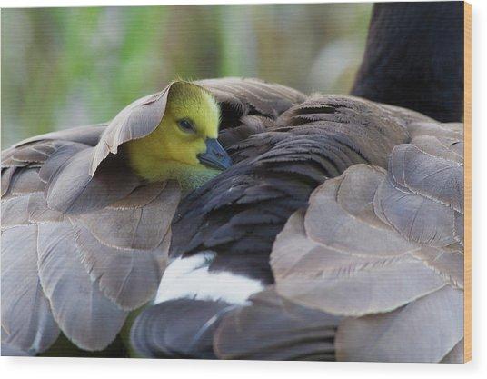 Snuggling Gosling Wood Print