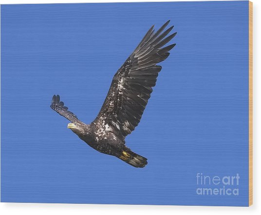 Soar Like An Eagle Wood Print