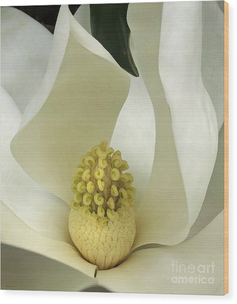 Soft Magnolia Grandiflora Wood Print