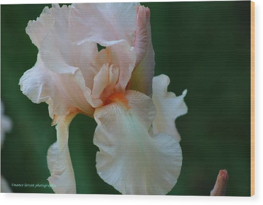 Soft Peach Iris Wood Print