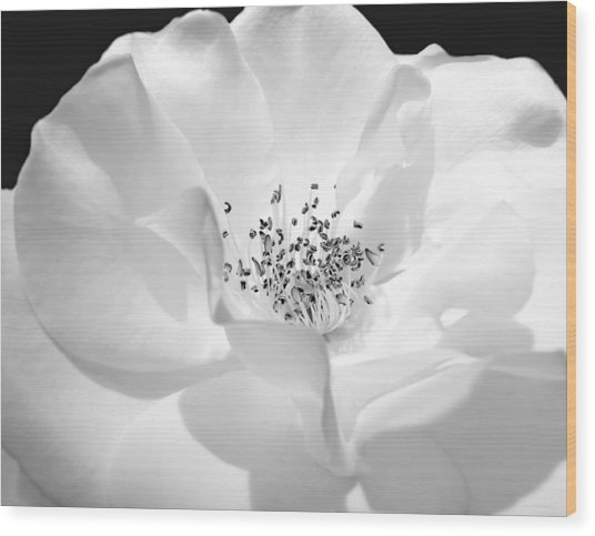 Soft Petal Rose In Black And White Wood Print