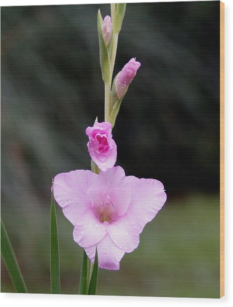 Soft Pink Glad Wood Print