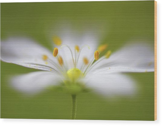 Softly Stitchwort Wood Print by Mandy Disher