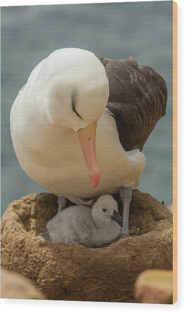 South America, Falkland Islands Wood Print