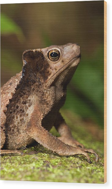 South American Crested Toad (rhinella Wood Print