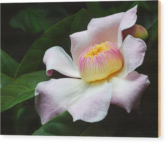 South American Gustavia Flower Wood Print
