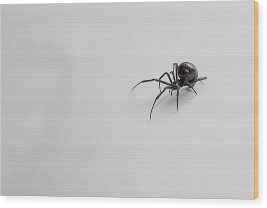Southern Black Widow Spider Wood Print