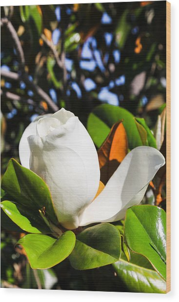 Southern Magnolia Blossom Wood Print