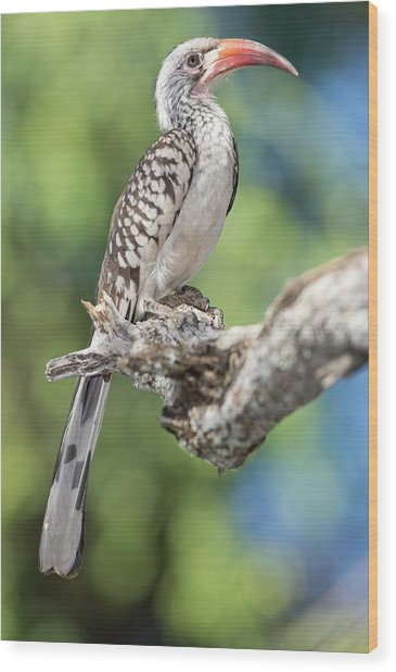 Southern Red-billed Hornbill Wood Print