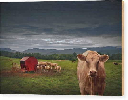 Southern Steer Wood Print by William Schmid