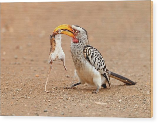 Southern Yellow-billed Hornbill With Prey Wood Print