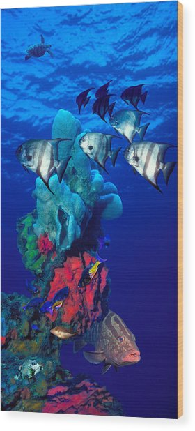 Spadefishes With Nassau Grouper Wood Print