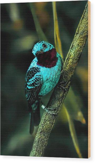 Spangled Cotinga Turquoise Bird Wood Print