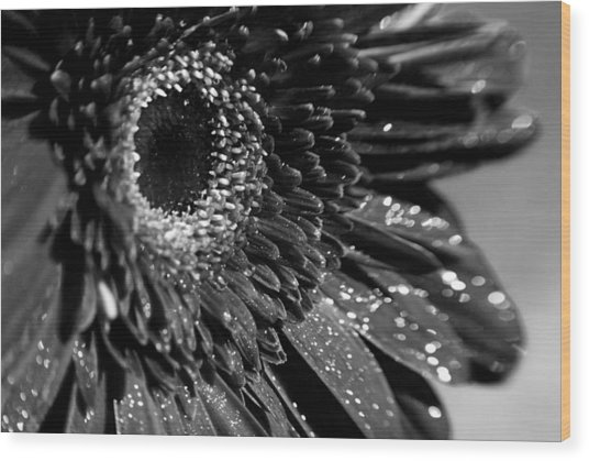 Sparkling Gerbera In Monochrome Wood Print