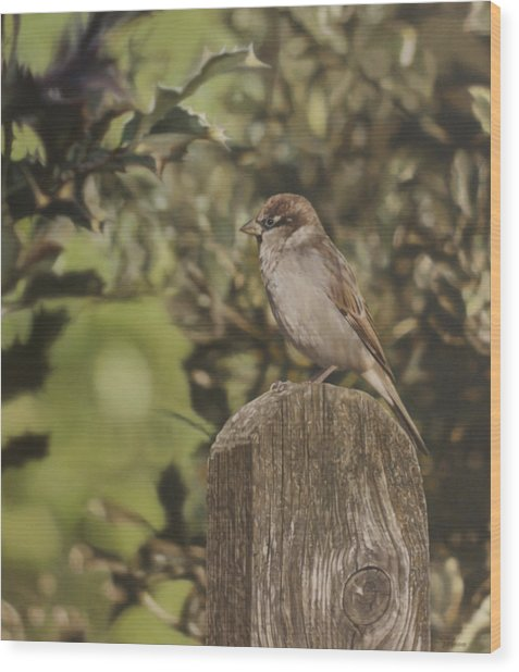 Sparrow On Fence Wood Print by Alberto Ponno