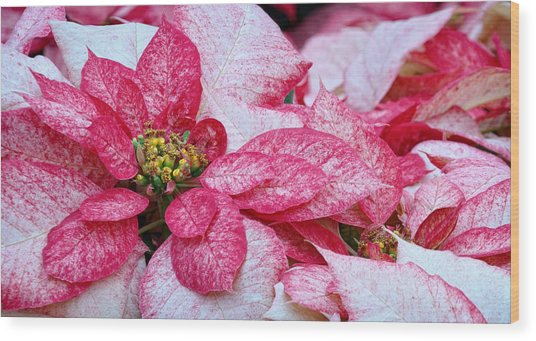 Specialty Poinsettias  Wood Print by Donna Pagakis