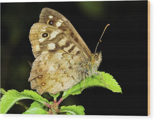 Speckled Wood Butterfly Wood Print by John Devries/science Photo Library