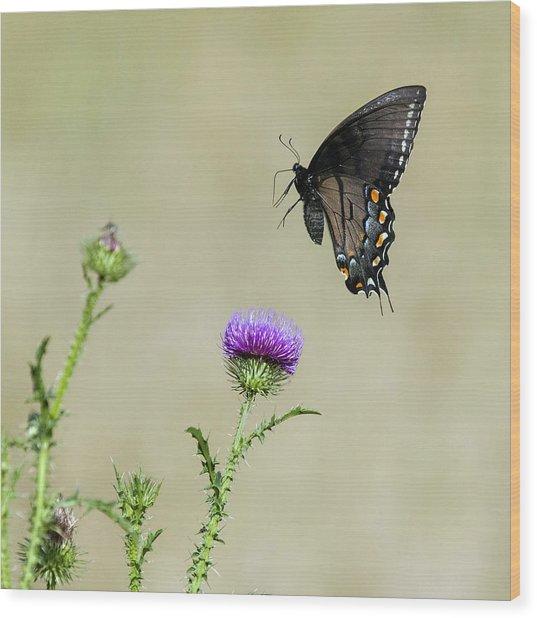 Spicebush Swallowtail 1 Wood Print
