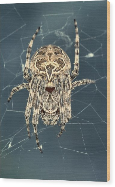 Spider Wood Print by Sinclair Stammers/science Photo Library