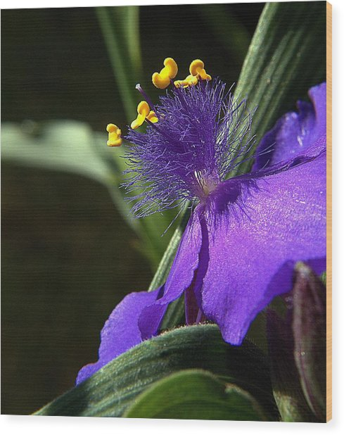 Spiderwort Shadows Wood Print