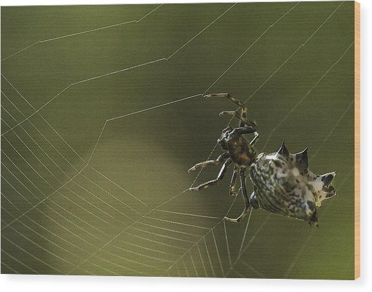 Spiny Backed Orb Weaver Wood Print