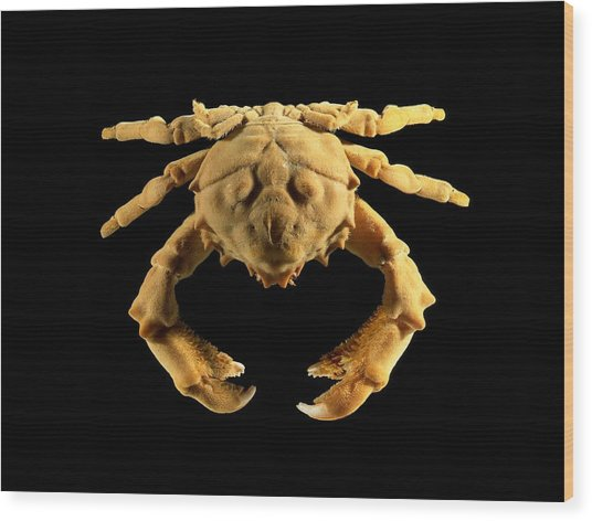Sponge Crab Wood Print by Science Photo Library