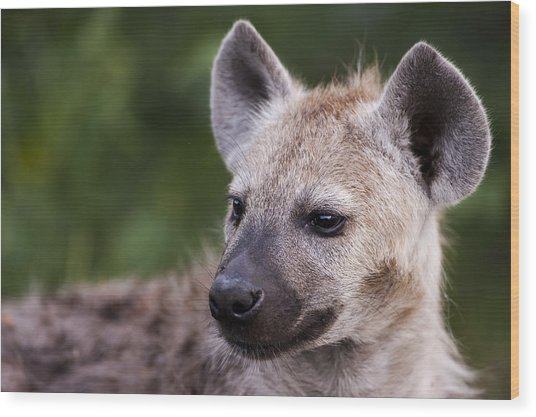 Spotted Hyena Wood Print by Sean McSweeney