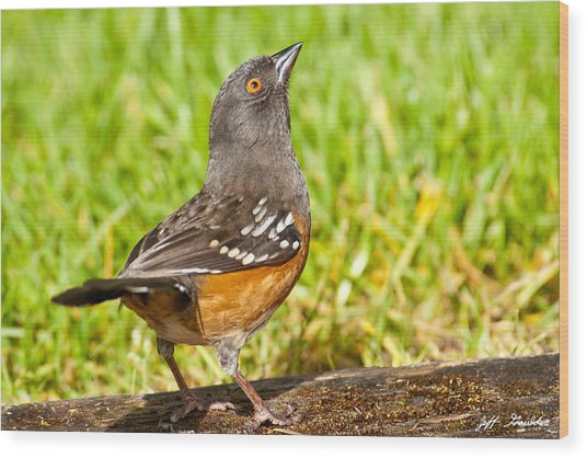 Spotted Towhee Looking Up Wood Print