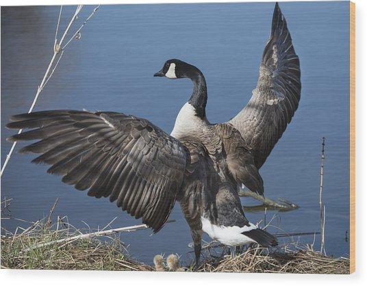Spreading My Wings... Wood Print by David Yack