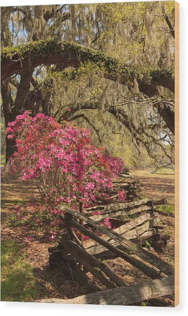 Spring Beauty Wood Print