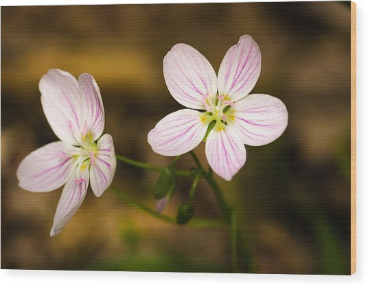 Spring Beauty Wood Print by Thomas Pettengill