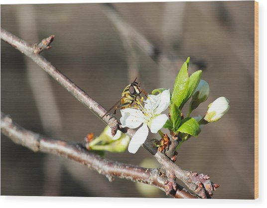 Spring Bee On Apple Tree Blossom Wood Print