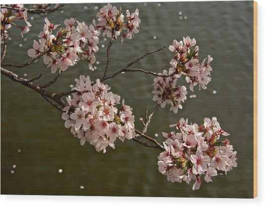 Spring Blossoms Wood Print by Kathi Isserman