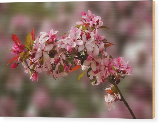 Cheery Cherry Blossoms Wood Print