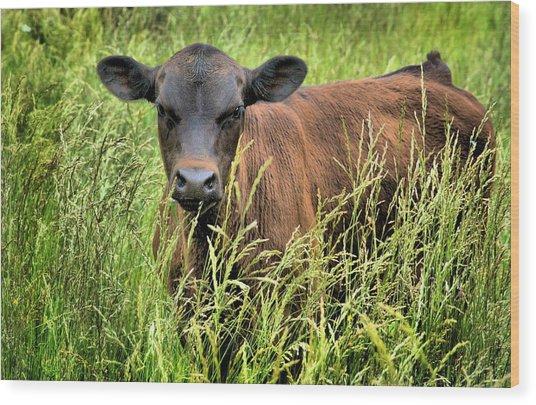 Spring Calf In Grassy Pasture Wood Print by Virginia Folkman