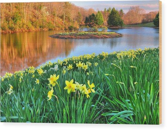 Spring Daffodils At Laurel Ridge-connecticut  Wood Print