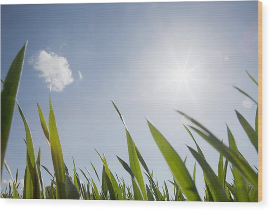 Spring Grass And Sun In The Sky Wood Print by David Trood