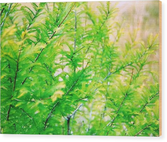 Spring Cypress Beauty Wood Print