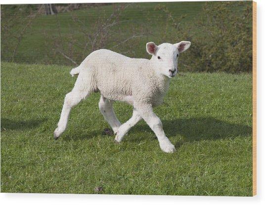 Spring Lamb Wood Print