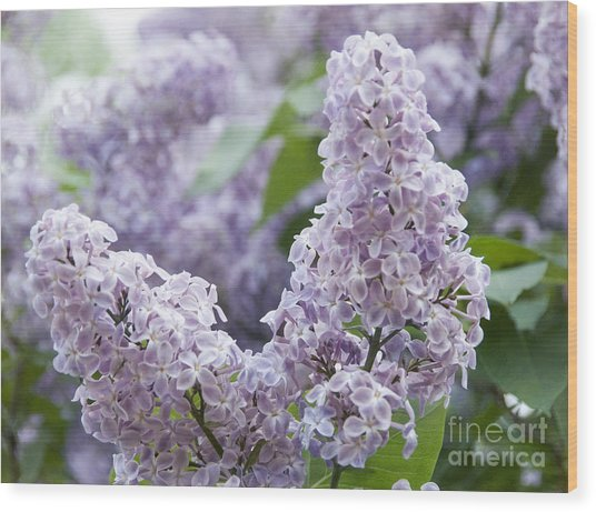 Spring Lilacs In Bloom Wood Print