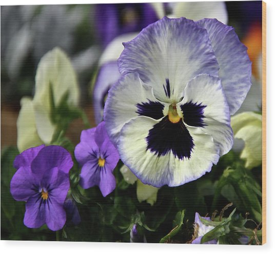 Spring Pansy Flower Wood Print