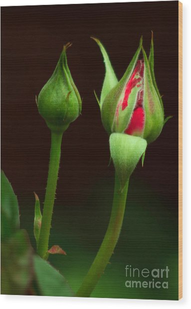 Spring Rose Bud Wood Print